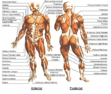 the morphology of the body